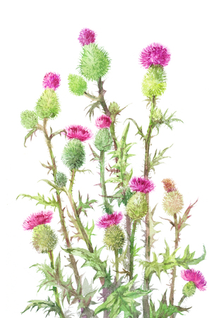 thistle, Carduus. Watercolor botanical illustration of Medical spines isolated on white. Unusual bouquet