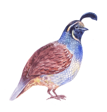 quail watercolor illustration, isolated on white Stock Photo