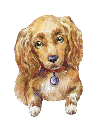 A watercolor cocker spaniel dog on white background. Illustration
