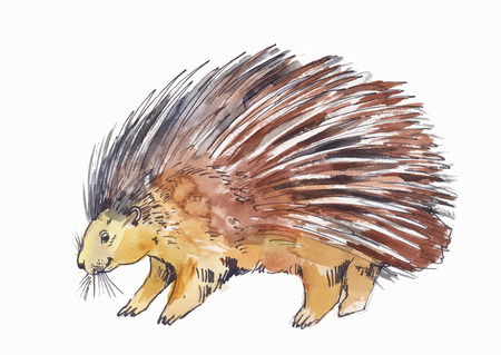 A watercolor drawing of porcupine or hedgehog isolated on white background.