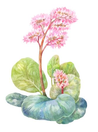 피는 차, Badan 또는 bergenia. 화이트 수채화 그림 스톡 콘텐츠