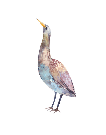 Watercolor bittern. Illustration of a standing bird on a white background