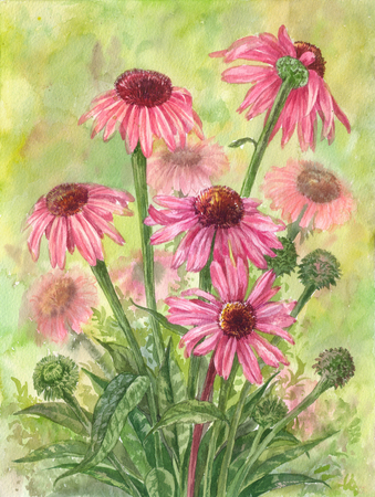 Watercolor echinacea bouquet. Hand drawn herbal botanical illustration Stock Photo