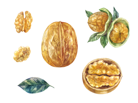 Watercolor nuts in shell. Wallnuts illustration, set isolated on white. Healthy food.
