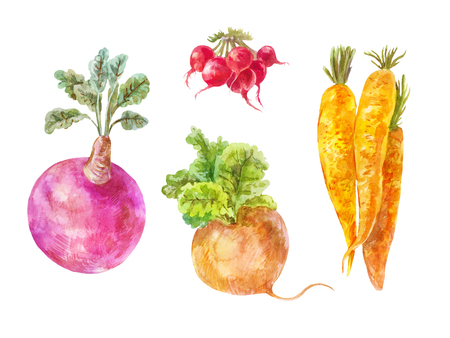 Set of underground vegetables isolated on white. Watercolor turnip, rutabaga, radish and carrot.