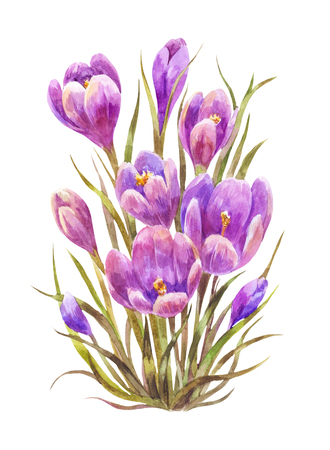 Watercolor saffron or crocus isolated on white. Vintage illustration