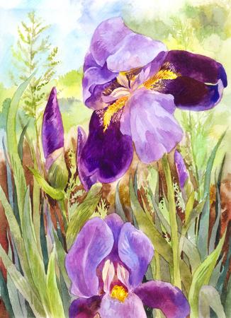 Watercolor purple irises. Beautiful watercolor vintage drawing
