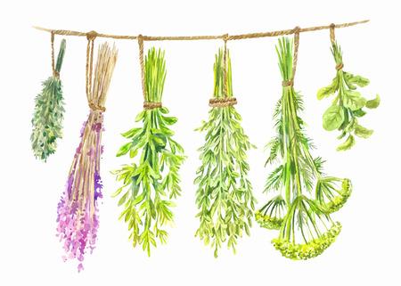 Le erbe vengono essiccate su una corda. Illustrazione di estate dell'acquerello isolata su white Vettoriali