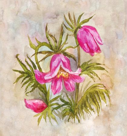 Field watercolor bouquet. Pulsatilla drawing. Floral vintage background