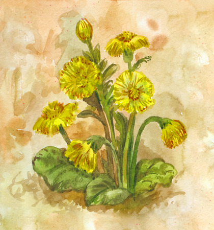 Yellow spring field flowers. Watercolor tussilago farfara