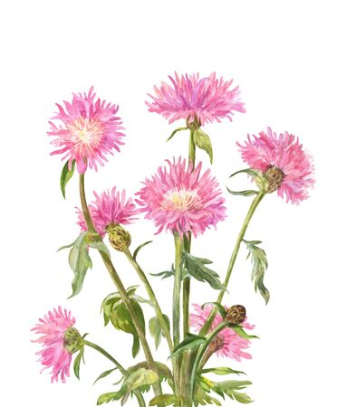 Centaurea dealbata, watercolor