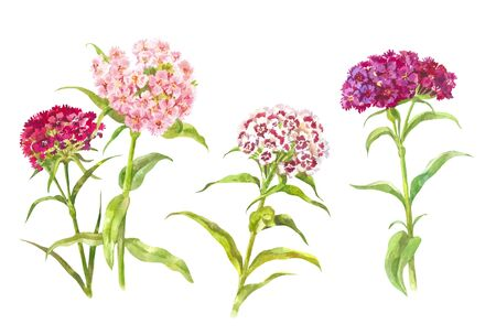 Watercolor carnations. Garden bright flowers isolated on white Stok Fotoğraf