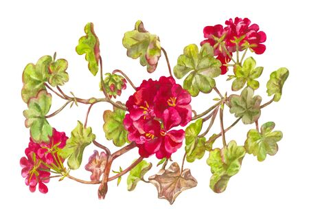 Bush of burgundy geranium. Watercolor illustraion, painted from nature