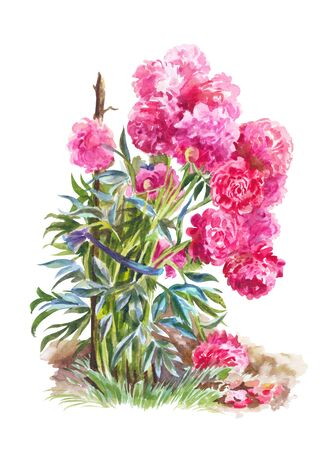 Watercolor illustration with  pink peonies. Bush of flowers in garden