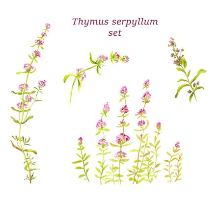 Thyme set. Watercolor botanical illustration.  Herbal tea for health. Traditional medicine for cough. Seasoning, aromatic spice