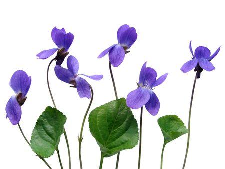 violets:   A bouquet of violets