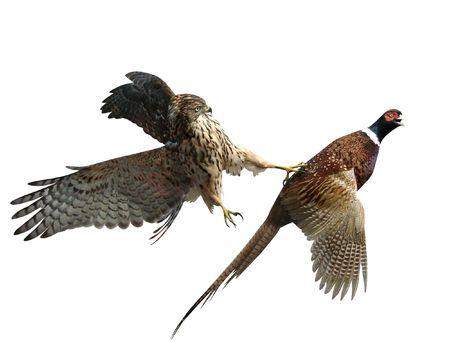 natural selection:      A pheasant and a falcon                           Stock Photo