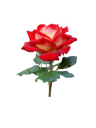 High-quality smart red rose                              photo