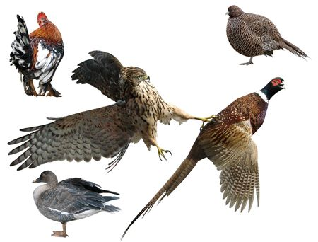 Pheasant and falcon , a duck,  a bird on a white background                          photo