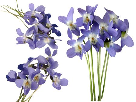 violets: Different flowers of a violet a bouquet on a white background