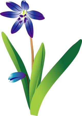 snowdrop: snowdrop flower Illustration
