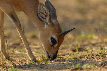 nibbling: Small Antelope Early Morning Stock Photo