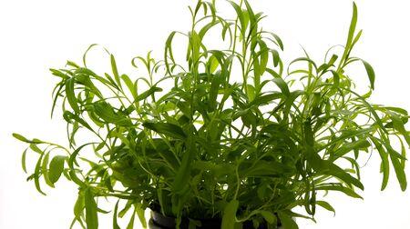 tarragon: Tarragon Herbs Stock Photo
