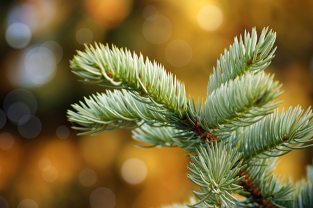 tree detail: Spruce twig on blurry background