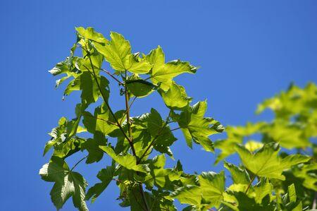 sprig: sprig leaves on a blue sky background
