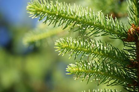 twig: Spruce twig on blurry background