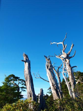 Dead hemlock trees standing still