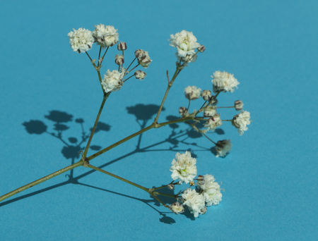 masses: Gypsophila (Babys-breath flowers), light, airy masses of small white flowers. Stock Photo