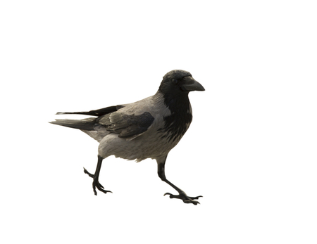 The single walking black and grey crow on the white background Stock Photo