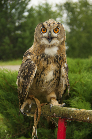 cocaine: Ine big owl seating on the branch Stock Photo