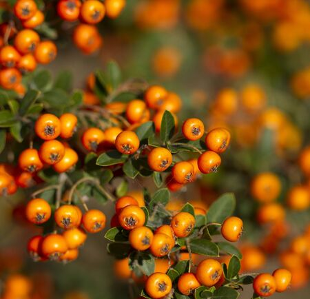 sorbus: Orange rowanberry (sorbus aucuparia) branch. Shallow focus background.