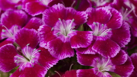 flores fucsia: Bright Pink and white sweet-william like spring background outdoor