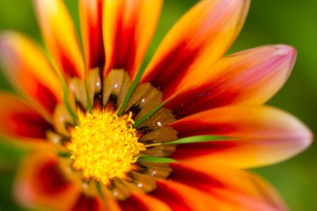 Gerbera orange flower close up on natural green background, horizontal view