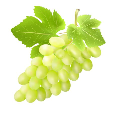 ilustration and painting: Bunch of grape. Created with gradient meshes. Stock Photo