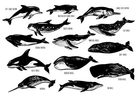 手描きのイルカやクジラのセットです。バンドウイルカ、港ネズミイルカ、ガンジス川、ハナゴンドウ、青、ザトウクジラ、キラー、灰色、ホッキョククジラ、フィン、マッコウクジラ、イッカク。シルエットは、白で隔離。