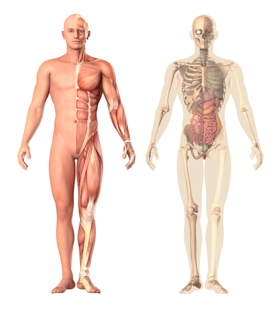 Medical illustration of a human anatomy transparency, view. The skeleton, muscles, internal organs showing separate parts isolated on white background. 3d render for science.