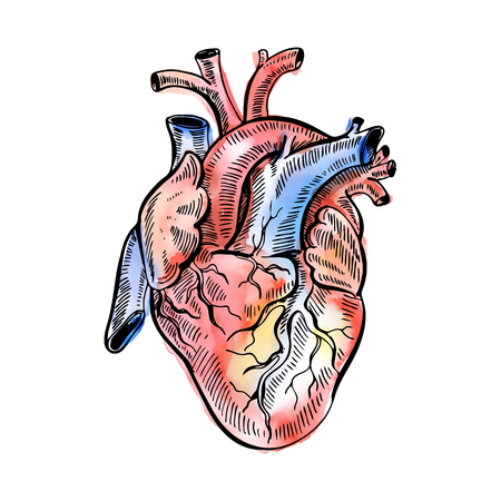 Hand drawing watercolor sketch anatomical heart. Illustration