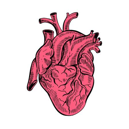 Hand drawing sketch anatomical heart.Cartoon style vector illustration. Illustration