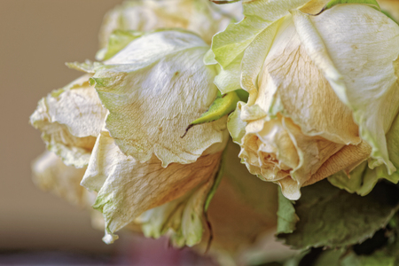 Close up of faded dry white rose. Withered flowers. Tinted photo.