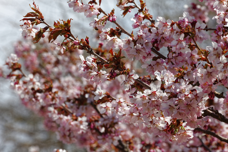 Flowers of Japanese Sakura. Cherry blossom of spring in the botanical garden. Tinted photo Stock Photo