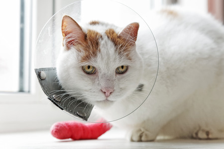 Old cat with a sick paw with cone collar.