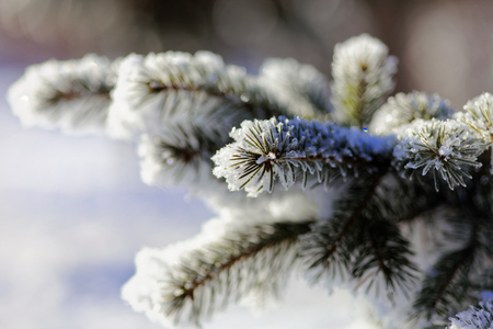 Close up of a spruce branches under the cap of snow