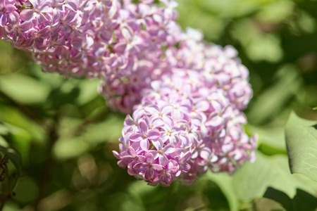 Close up of a blooming lilac. Macro shot of a spring light purple flowers. Shallow depth-of-field.