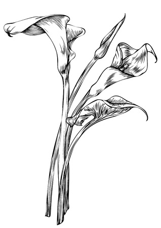 Hand drawn pen and ink Arum Calla botanical illustration. Colors can be changed easily. Flowers are separate groups Illustration