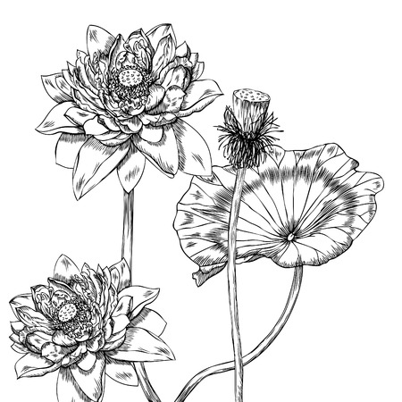 Hand drawn pen and ink lotus botanical illustration. Colors can be changed easily. Flowers are separate groups