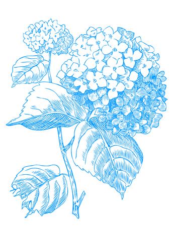 Hand drawn pen and ink Hydrangea botanical illustration. Stock Illustratie